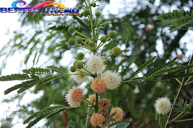 Apakah Benar Pohon Kina Dapat Mengobati Virus Corona?